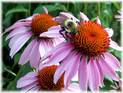 Cone flower with bee
