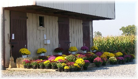 Corner acre mums photo