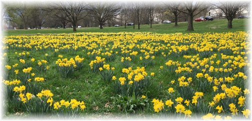 A field of Daffodils across the Potomac River from Washington 3/25/16