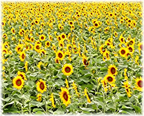 Field of Wisconsin sunflowers (Photo by Georgia, click to enlarge)