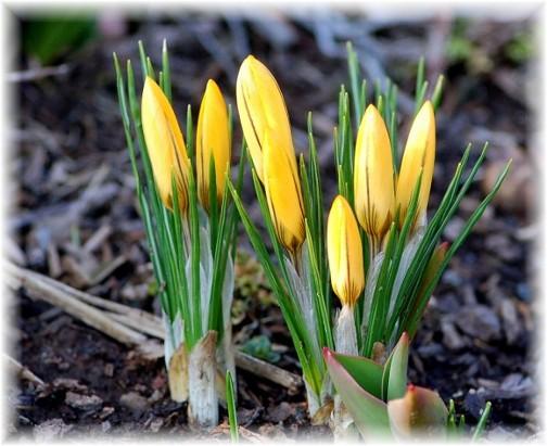 First 2011 Crocus bloom (Doris High)