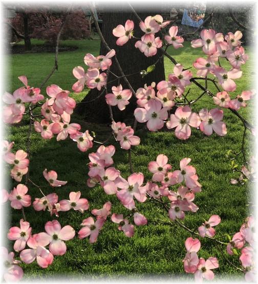 Flowering dogwood 5/6/18