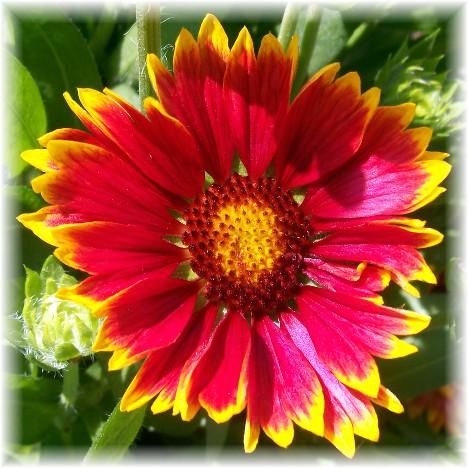 Gaillardia (aka blanketflower)