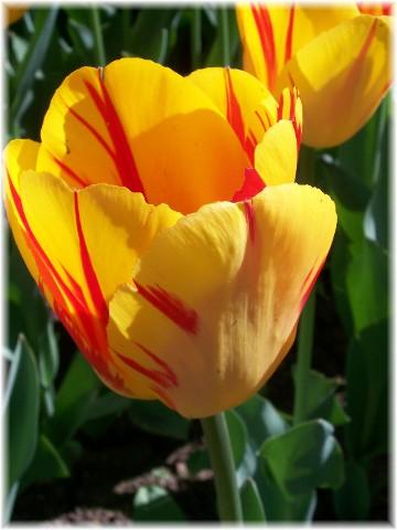 Variegated tulip, Hotel Hershey