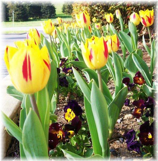 Hershey tulips (photo by Ester Weber)