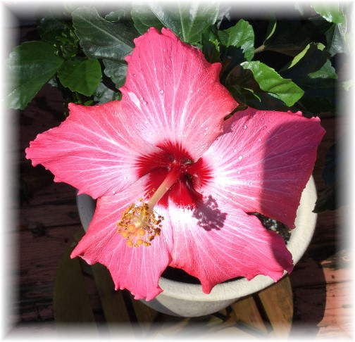 Tropical Hibiscus 9/15/15