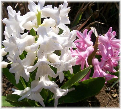 Hyacinth 4/15/11