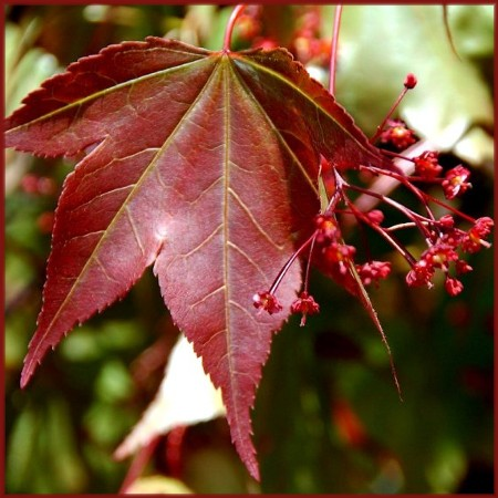 Japanese Maple Leaf (photo by Doris High)