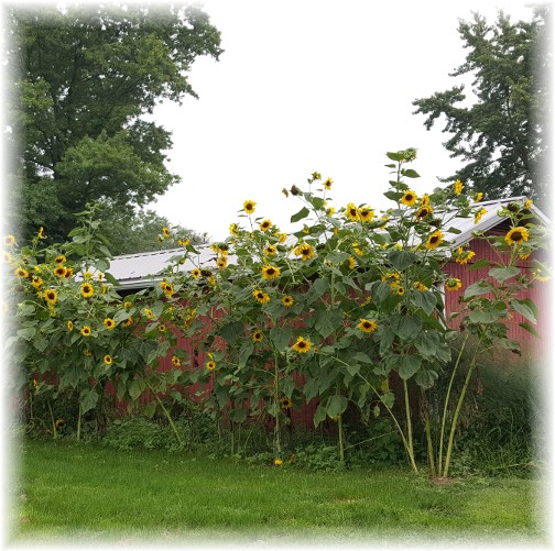 Keefer sunflowers (8/15/17)