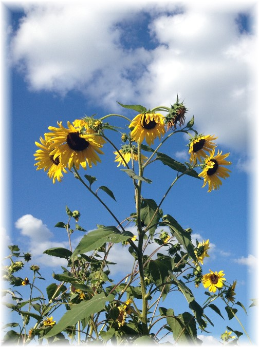 Sunflowers in Lebanon Trail Garden 8/28/15