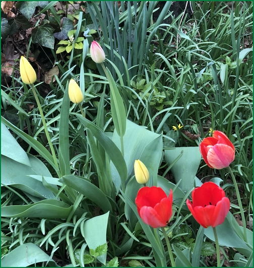 Tulips, Lititz PA 4/14/19