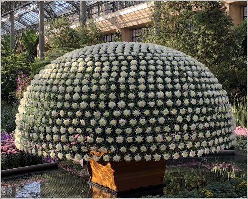 Longwood Gardens 1000 bloom Chrysanthemum 11/11/18 (Click to enlarge)
