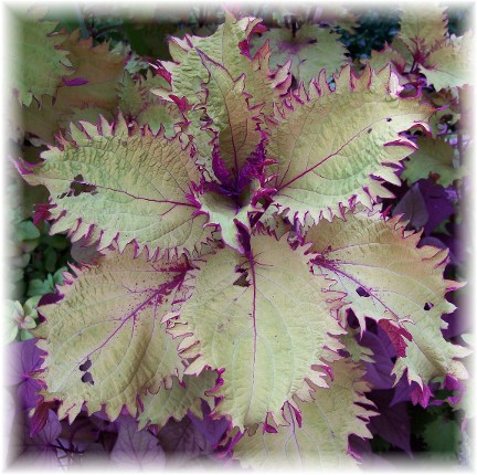 Coleus leaf at Longwood Gardens
