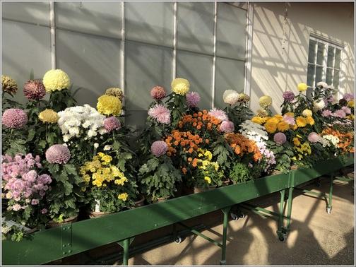 Longwood Gardens mum replacements 11/11/18