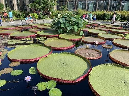 Longwood Gardens platter lilies 8/10/19