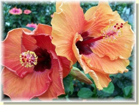 Hibiscus blooms at Longwood Gardens