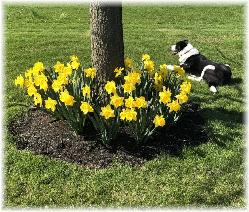 Mollie with daffodils, Mansion Road 4/22/18