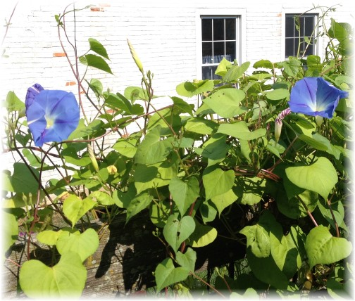 Morning glories on fence post 9/6/14