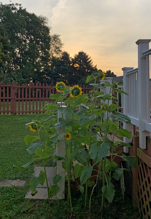 Morning sunflowers 8/5/19