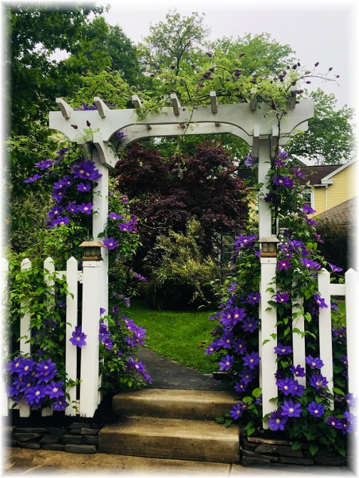 Clematis in Mount Joy, PA 6/19/18 (Photo by Ester)