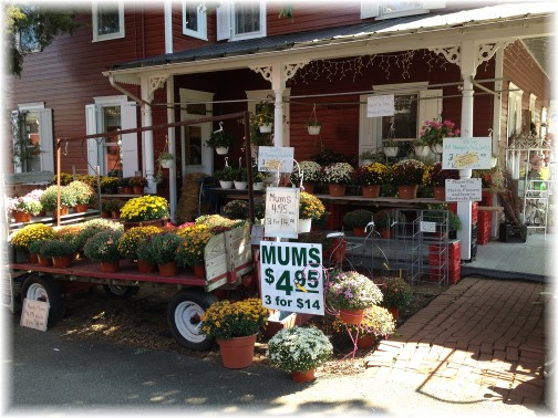 Mums for sale in Bird In Hand, PA 9/4/14