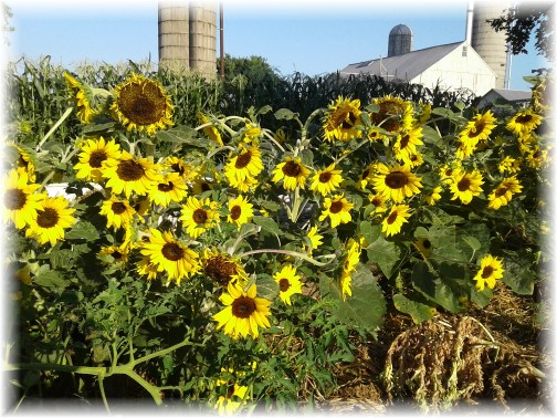 Sunflowers on the Old Windmill Farm (Photo by Jesse Lapp)