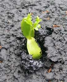 Persevering new growth through pavement