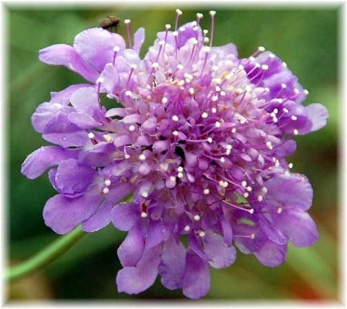 Pincushion flower (Doris High)