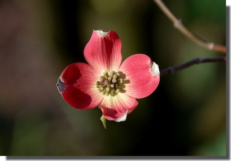Pink dogwood bloom (photo by Doris High)