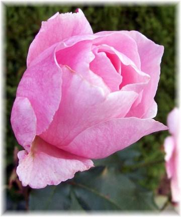Pink rose 10/23/11