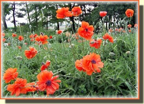 Helen's poppies
