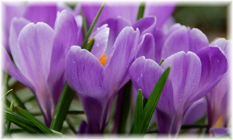 Purple Crocus (photo by Doris High)