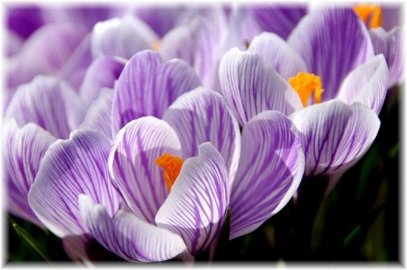 Purple crocus (photo by Doris High)