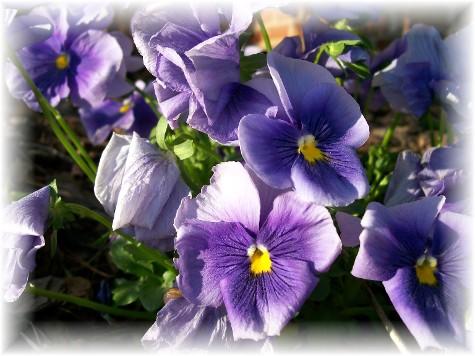 Purple pansies in Greensboro NC 4/7/10