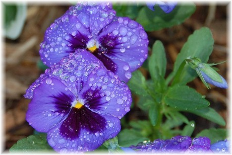 Purple pansies (Photo by Doris High)