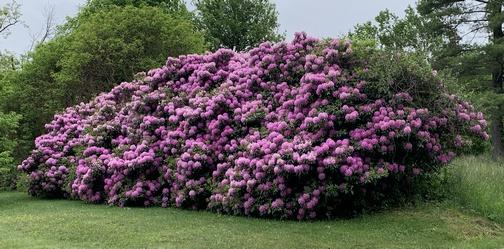 Rhododendron bush, Lebanon County PA 6/2/20