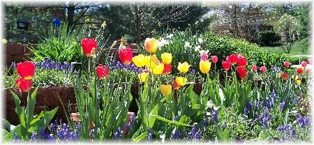 Tulips in Roanoke Virginia 4/9/10