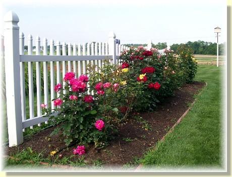 Roses along white picket fence