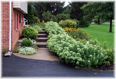 Sedum in front of the Weber's home