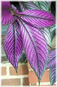 Shiny leaf