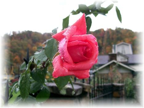 Smoky mountain rose TN 10/27/10