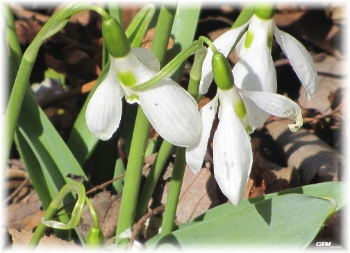 Snowdrops flower (photo by GEM)