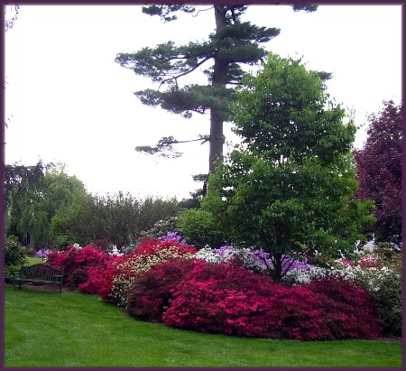 Azalia flowers