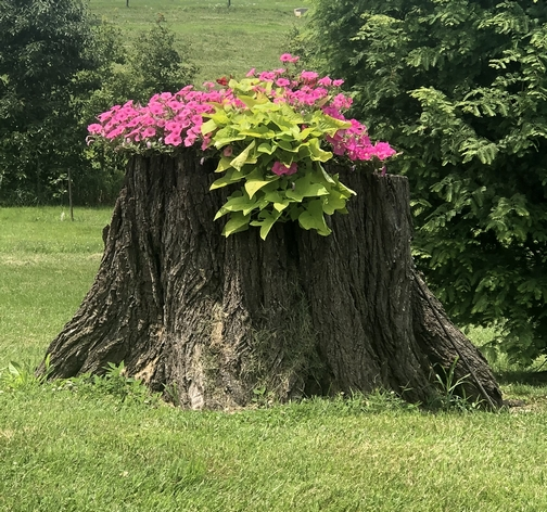 Stump planter at the Oregon Dairy 7/14/19 (Click to enlarge)