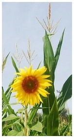 Sunflower with corn