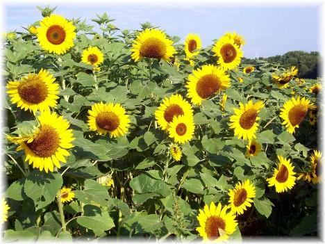 Kraybill Church Road sunflowers 7/20/10