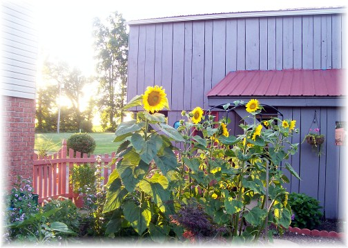 Sunflowers 6/26/12