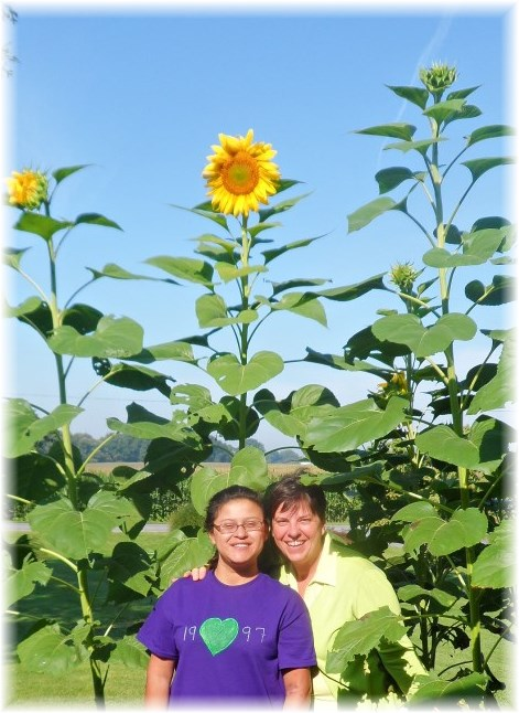 Giant Sunflowers 8/16/13