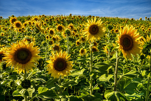 Field of sunflowers (Howard Blichfeldt)