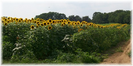 Sunflowers grown for wholesale